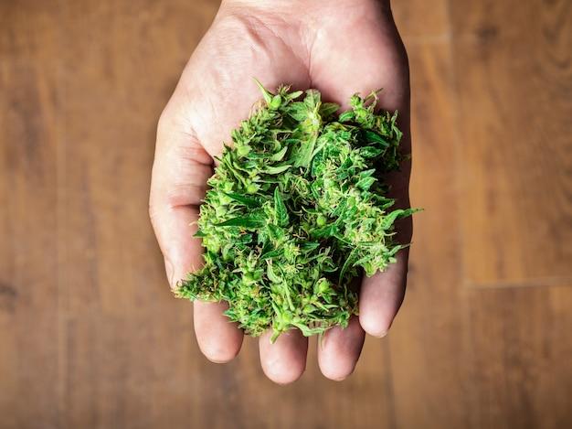 Garść pąków marihuany w ręku lecznicze zielone pąki konopi