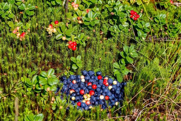 Garść świeżo zebranych jagód i żurawiny na leśnej polanie. krzaki żurawinowe w tle.