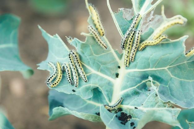 Gąsienica białego motyla jedząca liście kapusty