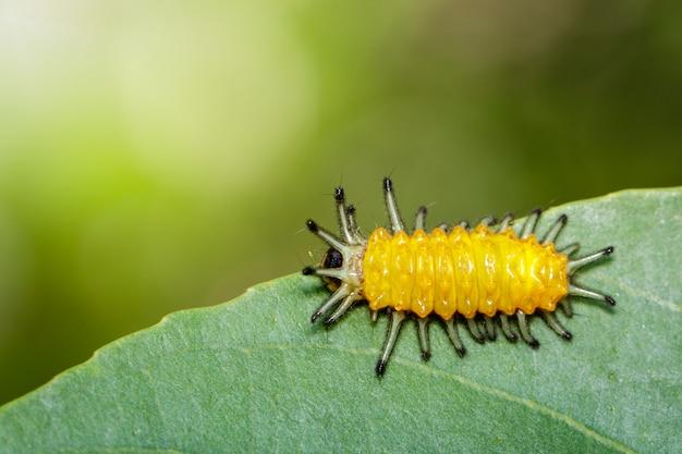 Gąsienica bursztynu na zielony liść. owad. zwierzę.