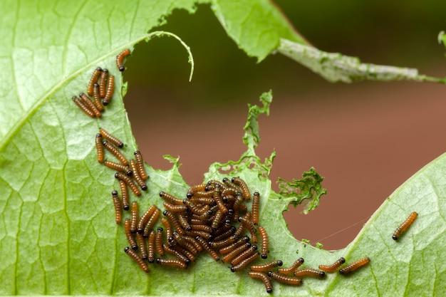 Gąsienica juno dione na liściu marakui