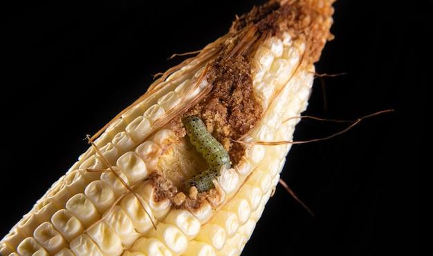 Gąsienica kukurydzy w szczegółach na kolbie.
