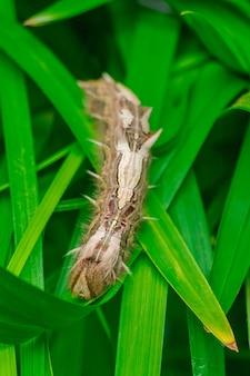 Gąsienica morpho peleides, na zielonych liściach