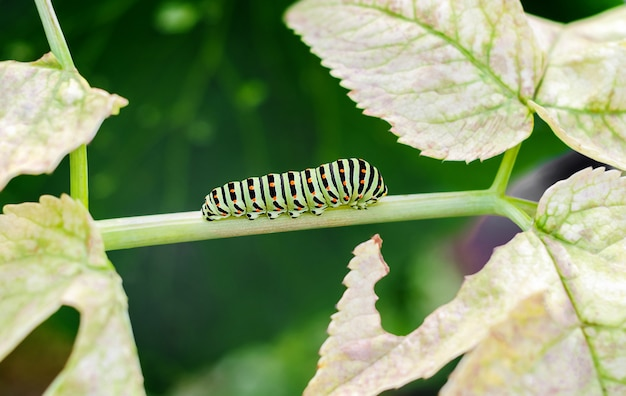 Gąsienica pełzająca na liściach