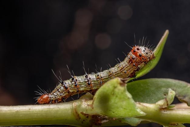 Gąsienica z rzędu lepidoptera jedząca portulaka pospolitego z gatunku portulaca oleracea