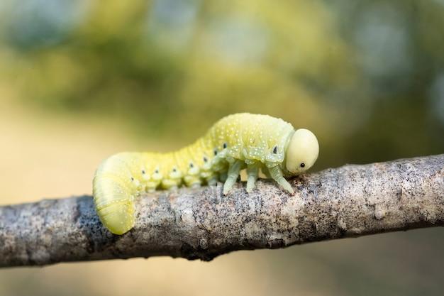 Gąsienica żerująca na brzozie brodawkowatej