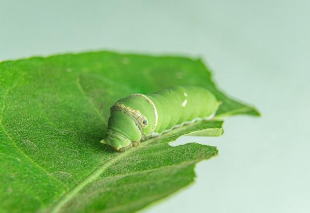 Gąsienice jedzą liście
