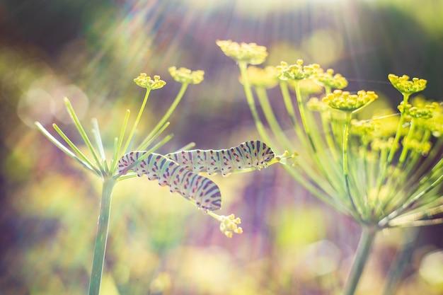 Gąsienice swallowtail na koprze włoskim w jasnym świetle