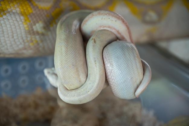 Gatunek pytonów, które zostały opracowane, są to zwierzęta hodowane dla gospodarki. egzotyczne zwierzaki z azji
