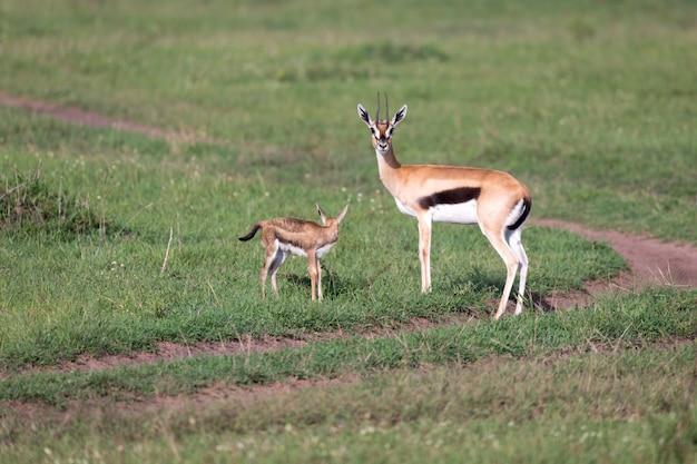 Gazela thomsona z potomstwem na sawannie