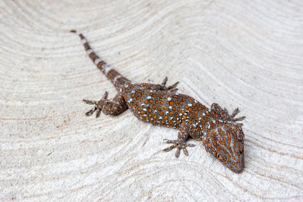 Gecko na cementowej podłodze