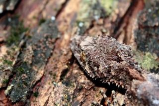 Gecko na drzewie