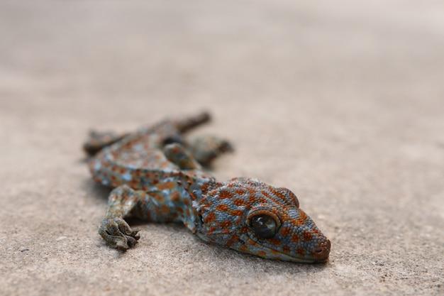 Gecko zwłoki martwych zwierząt na betonowej posadzce, zamknęły oczy