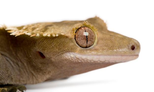 Gekon czubaty nowozelandzki - rhacodactylus ciliatus