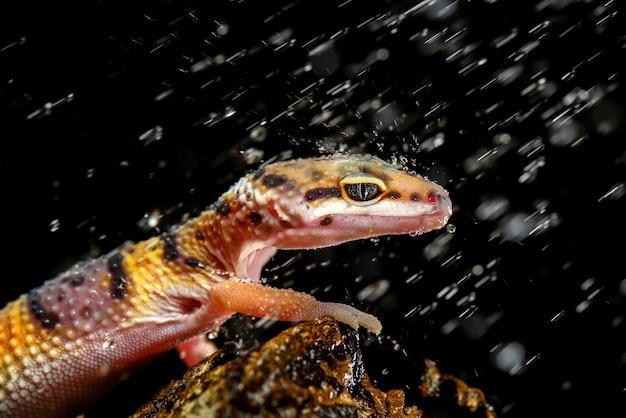 Gekon lamparci w deszczu