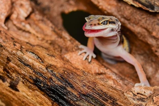 Gekon lamparci wystaje język w lesie tropikalnym