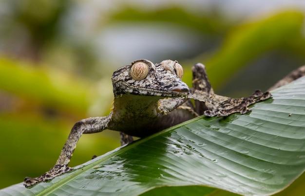 Gekon ogoniasty siedzi na dużym zielonym liściu. madagaskar.