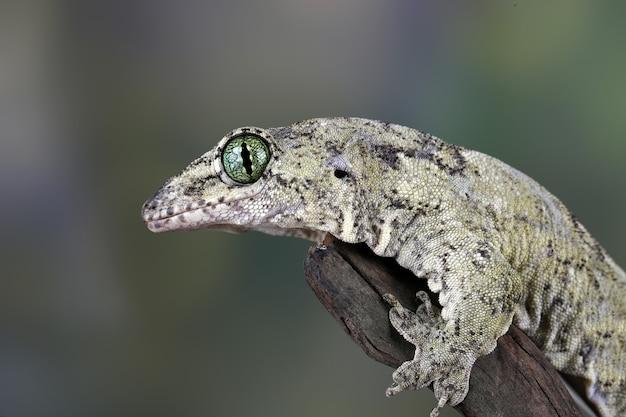 Gekon vorax lub gekon olbrzymi halmaheran zbliżenie głowy