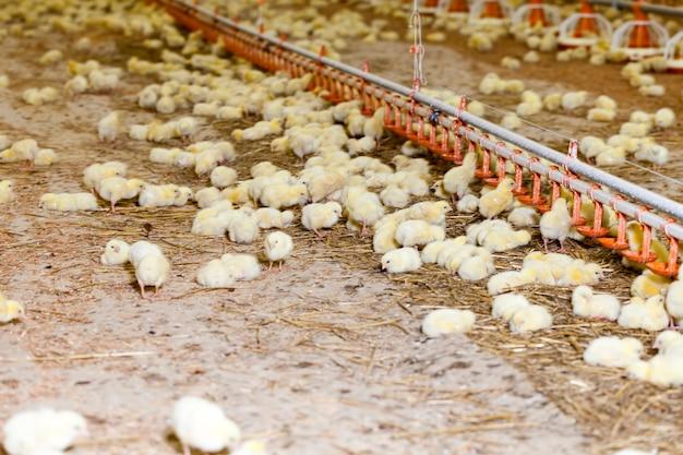 Genetycznie modyfikowane ulepszone pisklęta kurczaka z białego mięsa na fermie drobiu, hodowane jako firma produkująca duże ilości wysokiej jakości mięsa z kurczaka drobiowego
