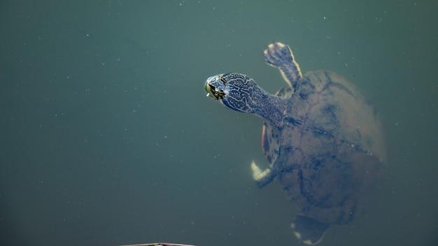 Geoffroys żółw szyjkowy z gatunku phrynops geoffroanus