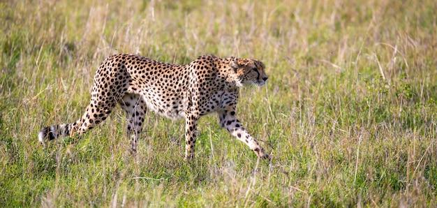 Gepard chodzi między trawą i krzakami na sawannie kenii