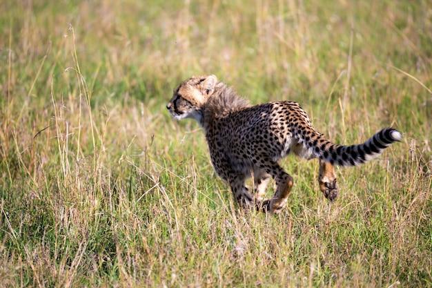 Gepard chodzi między trawami i krzakami na sawannie kenii