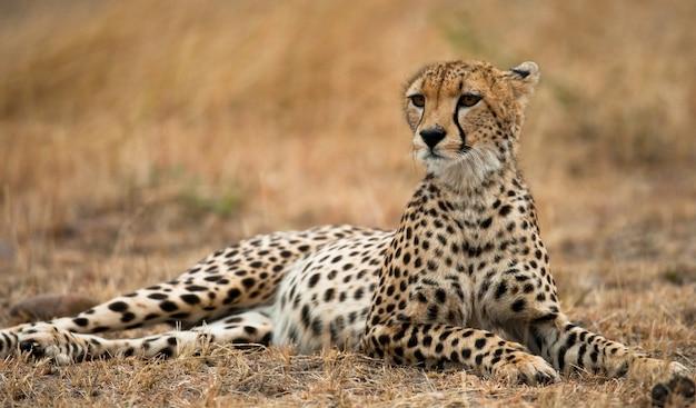 Gepard leży na sawannie.