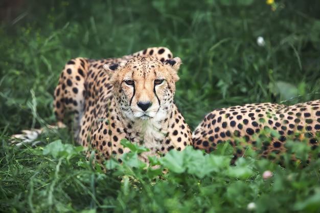 Gepard leży na zielonej trawie