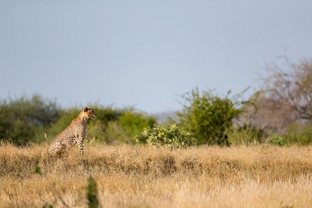 Gepard na łące sawanny w kenii