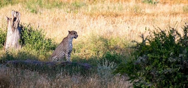 Gepard na łące sawanny
