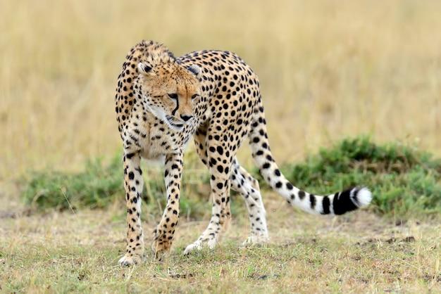 Gepard na łące w parku narodowym afryki