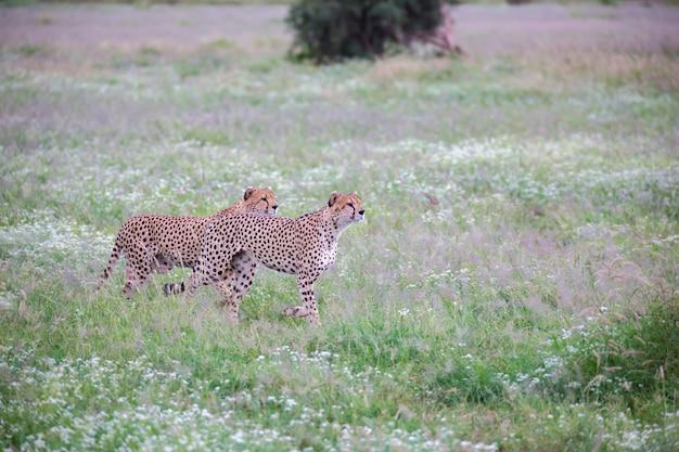 Gepard na łące w parku narodowym