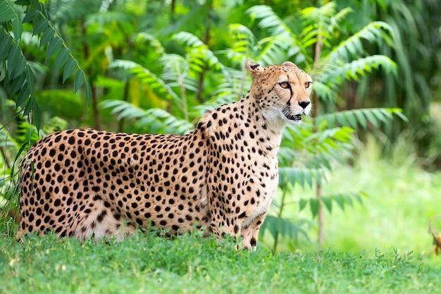 Gepard na polanie portret