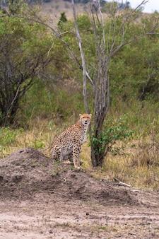 Gepard na sawannie