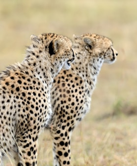 Gepard na wolności