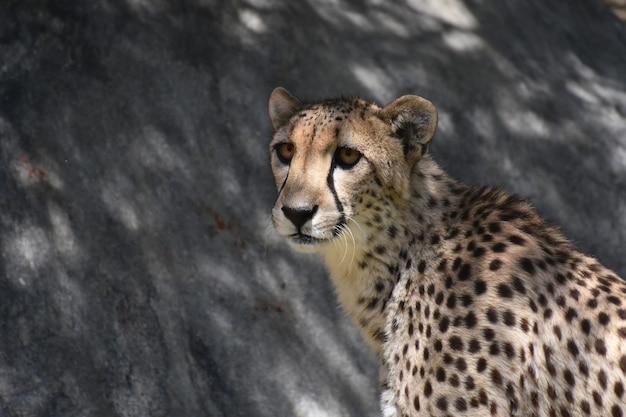 Gepard o brązowych oczach spoglądających w dal.