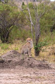Gepard obserwuje zdobycz