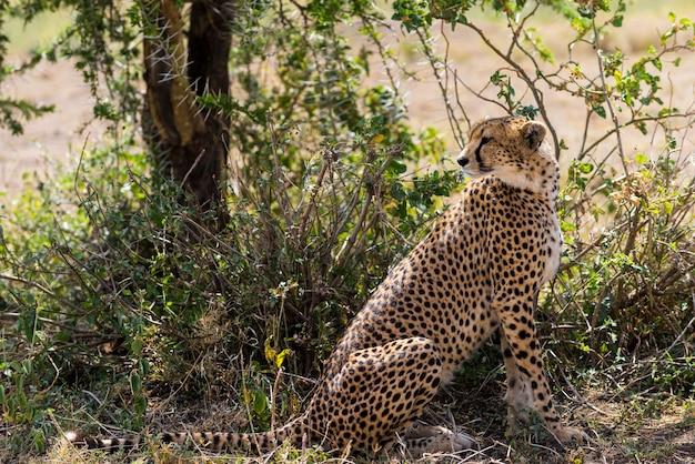 Gepard siedzący pod drzewem, serengeti, tanzania, afryka