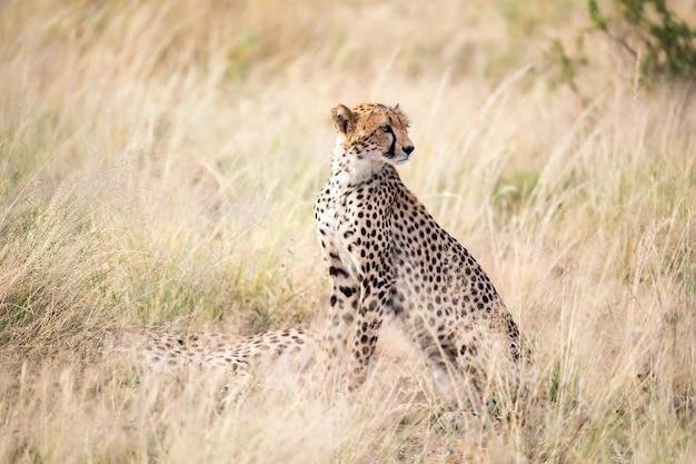 Gepard siedzi na sawannie w poszukiwaniu zdobyczy