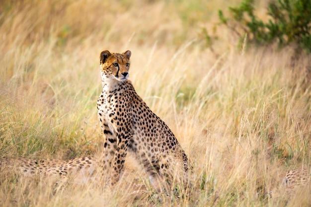Gepard siedzi pośrodku trawy