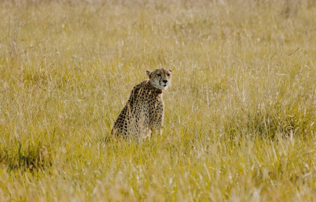 Gepard siedzi w krzaku, patrząc wstecz