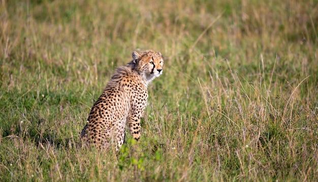 Gepard siedzi w trawiastym krajobrazie sawanny kenii