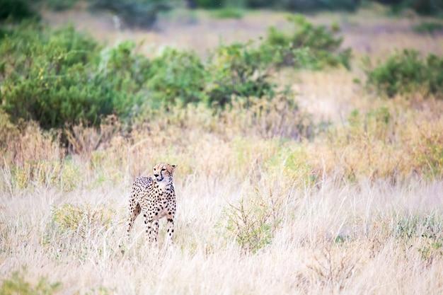 Gepard spaceruje po wysokiej trawie sawanny w poszukiwaniu czegoś do jedzenia
