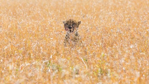 Gepard w afrykańskiej sawannie, w masai mara, kenia
