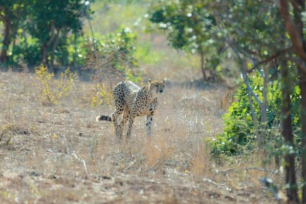 Gepard w pozycji myśliwskiej gotowy do ucieczki w zasadzkę. park narodowy krugera, republika południowej afryki.
