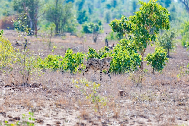 Gepard w pozycji myśliwskiej gotowy do ucieczki w zasadzkę.