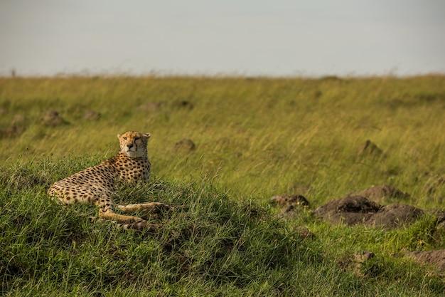 Gepard w rezerwacie narodowym masai mara