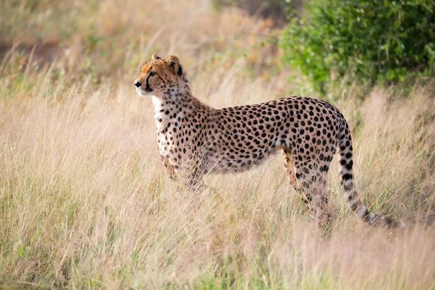 Gepard w trawiastym krajobrazie między krzakami