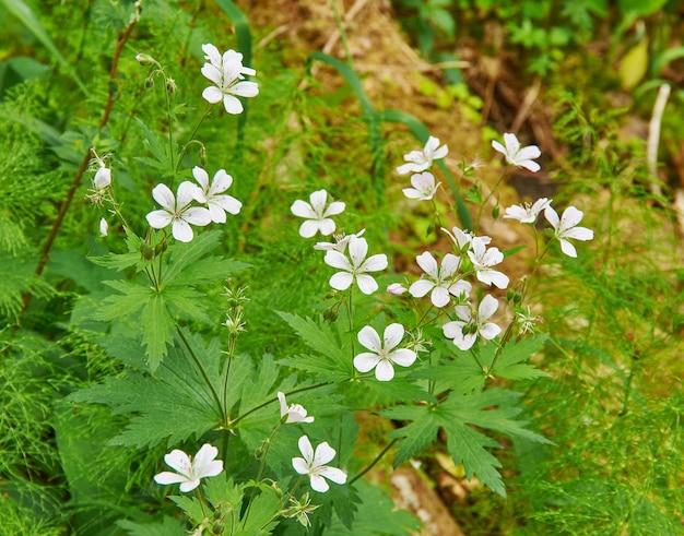 Geranium pratense - bodziszek łąkowy, gatunek rośliny kwitnącej z rodziny geraniaceae, pochodzący z europy i azji