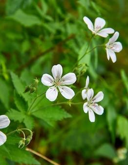Geranium pratense geranium łąkowy, gatunek rośliny kwitnącej z rodziny geraniaceae